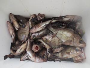 0026 3月23日午前の釣果