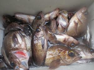 0041 3月23日午前の釣果