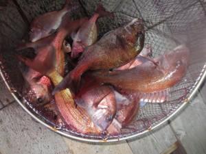 0031 6月15日午後の釣果
