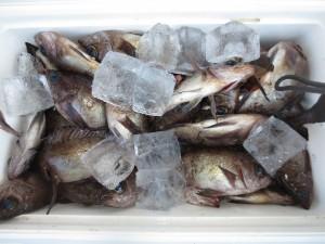 008 2月2日午前の釣果