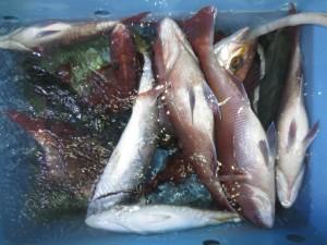 0043 9月27日午後の釣果