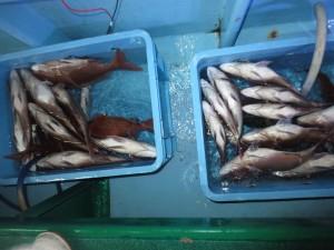 001 11月1日午後の釣果