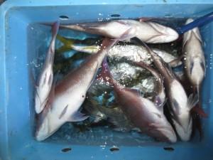 0026 11月8日午後の釣果