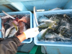 0031 11月2日午後の釣果